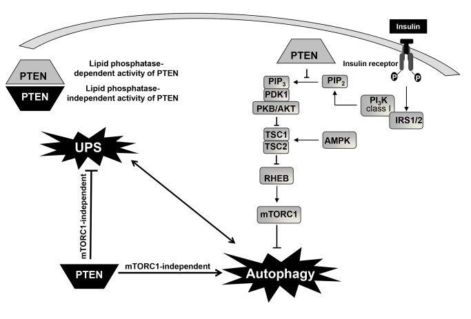 In a simplified scheme, insulin signalling to mTOR complex