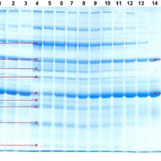 SDS-PAGE gel image of protein bands of liquid egg samples. 1. LWE. 2....   Download Scientific Diagram