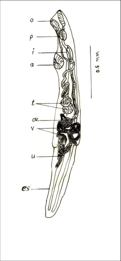 small resolution of lecithocladium bulbolabrum lateral view o oral sucker p pharynx download scientific diagram