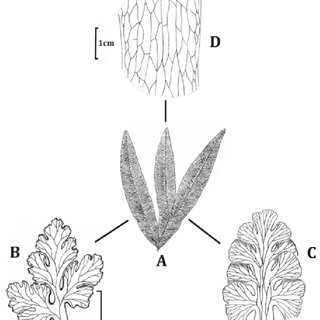 Basic model architecture of the sporophyte of Botrychioid