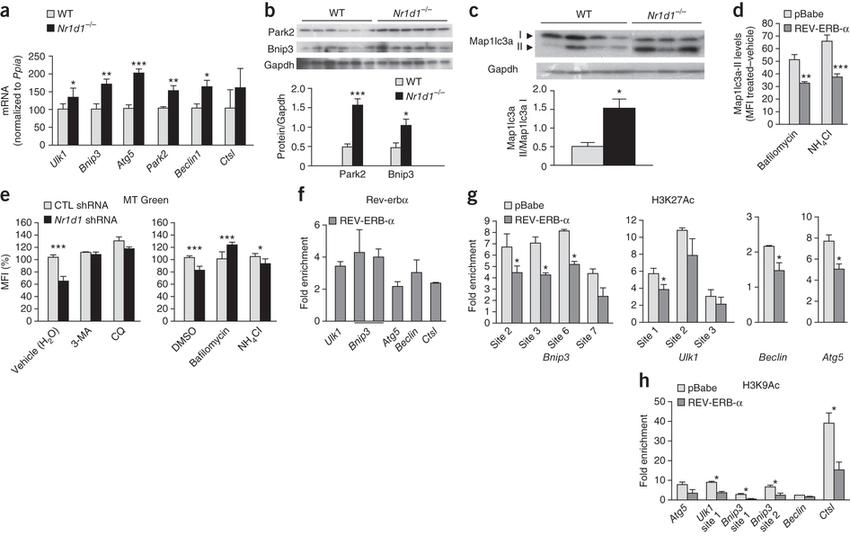 Rev-erb-α modulates skeletal muscle autophagy. (a) RT-qPCR