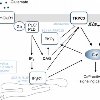 TRPC3 is a key player in the mGluR1 signaling pathway