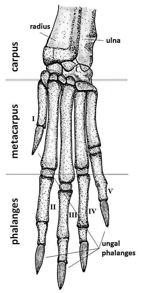 bones in your foot diagram ford 5 4 heater hose dorsal view of the bone anatomy rabbit feet left front a and
