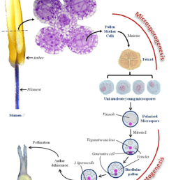 male gametophyte development in angiosperms pollen grains develop in download scientific diagram [ 850 x 1138 Pixel ]