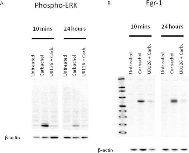 A, pERK Western showing ERK phosphorylation at 10-min and
