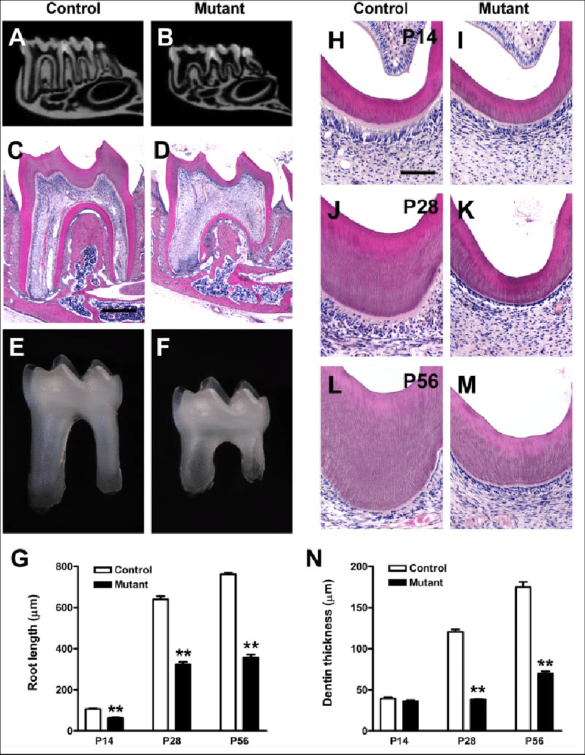 hight resolution of tooth phenotypes in oc cre wls co co mice mandibular molars of