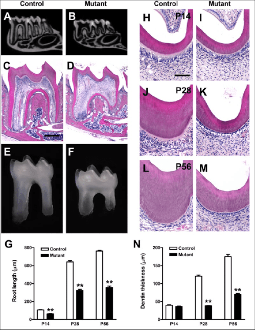 small resolution of tooth phenotypes in oc cre wls co co mice mandibular molars of