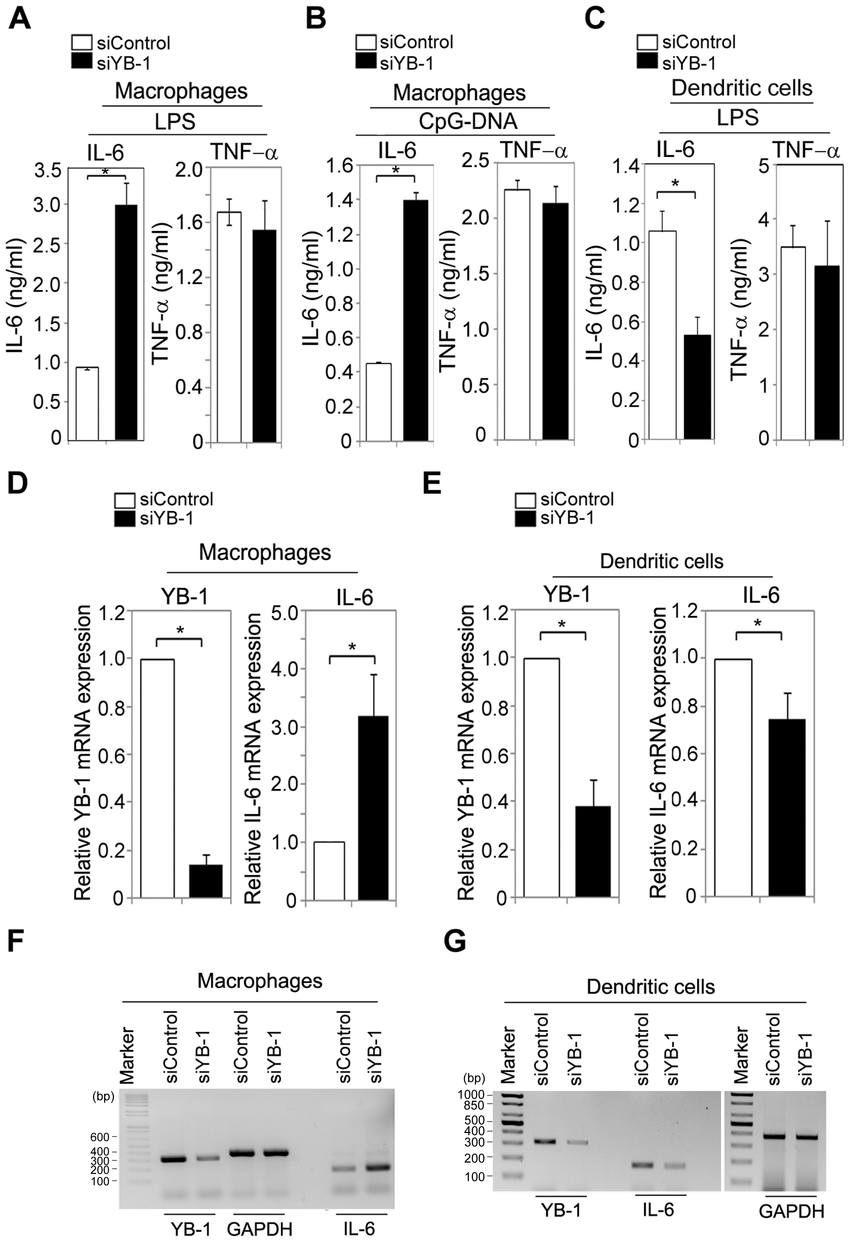 Depletion of YB-1 affects IL-6 mRNA production in a cell
