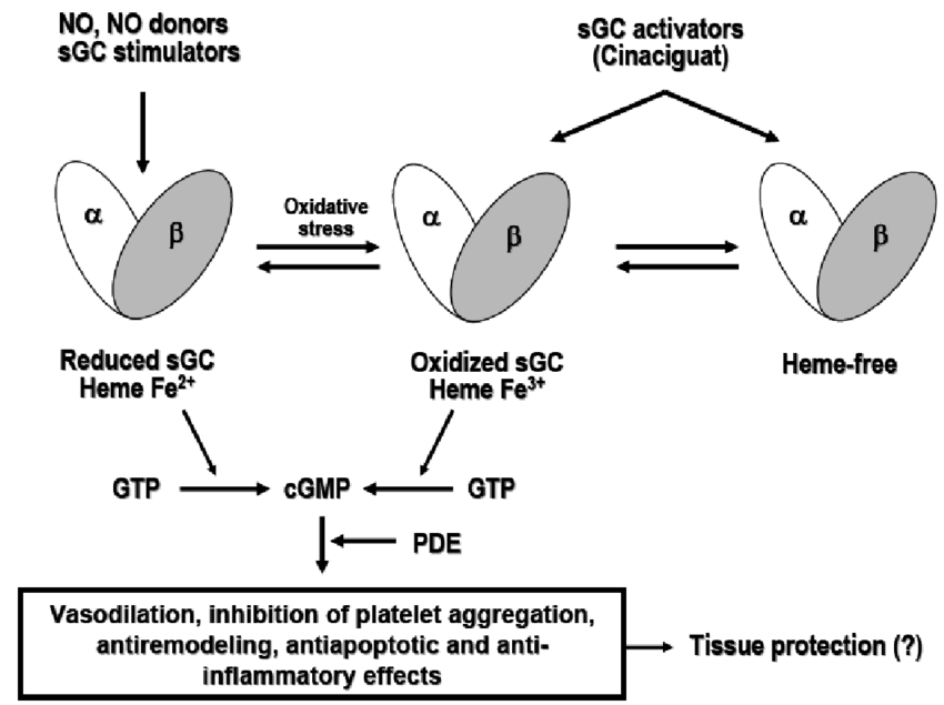 The NO-sGC-cGMP signalling pathway and the mechanism of