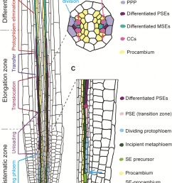 4 phloem formation in the root a a schematic representation of a longitudinal root section is [ 850 x 1286 Pixel ]