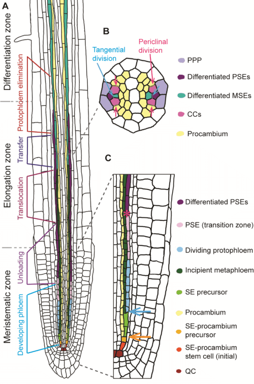 small resolution of 4 phloem formation in the root a a schematic representation of a longitudinal root section is