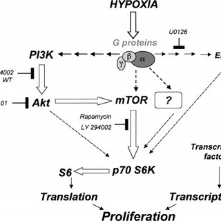 Hypoxia induces DNA synthesis in adventitial fibroblasts
