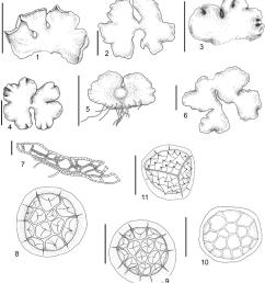 riccia nipponica s hatt 1 4 6 habit of plant  [ 850 x 942 Pixel ]