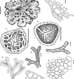 riccia cavernosa hoffm 1 4 all from kamchatka territory bakalinriccia cavernosa hoffm  [ 850 x 1173 Pixel ]