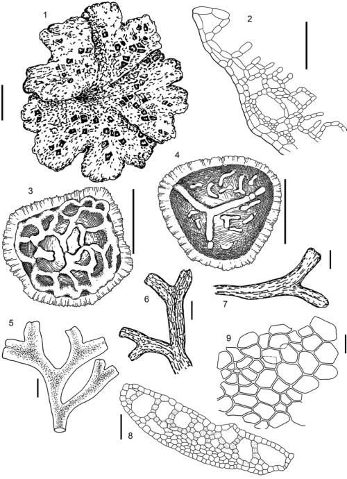 small resolution of riccia cavernosa hoffm 1 4 all from kamchatka territory bakalinriccia cavernosa hoffm