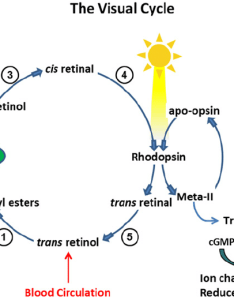 Processing of vitamin  in the visual cycle enzymatic within begins with delivery all trans retinol from also rh researchgate