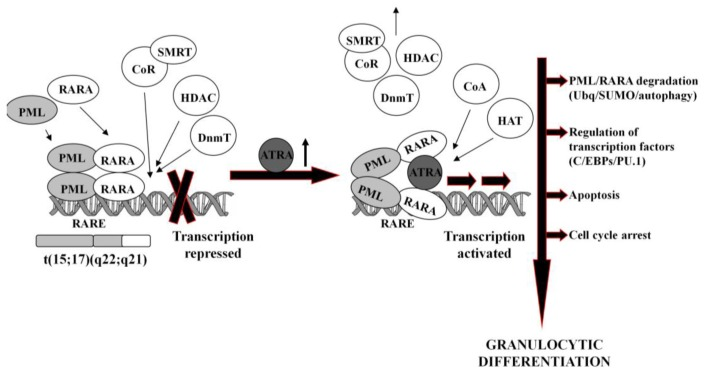 Molecular mechanism of ATRA-induced differentiation of APL
