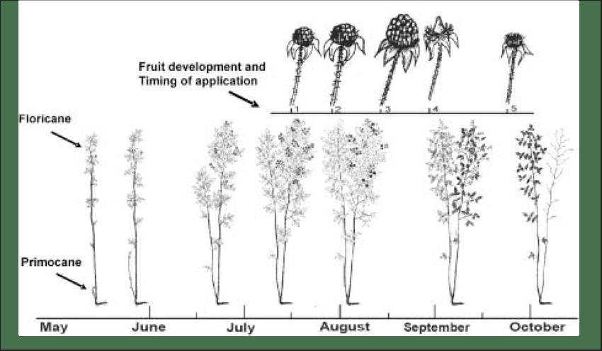 Seasonal phenology of red raspberry flowering and fruit