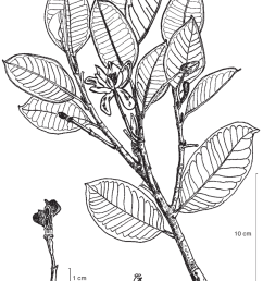 magnolia sulawesiana brambach noot culmsee a leafy twig with flowers in [ 850 x 1117 Pixel ]