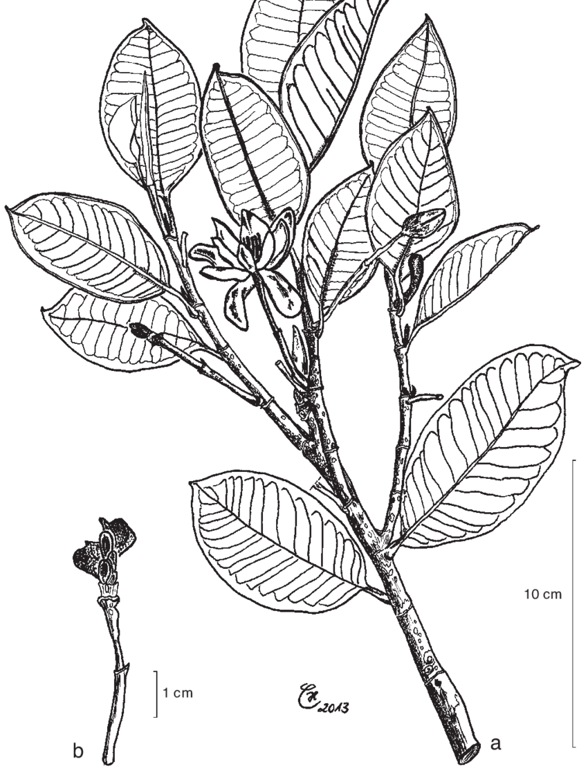 hight resolution of magnolia sulawesiana brambach noot culmsee a leafy twig with flowers in