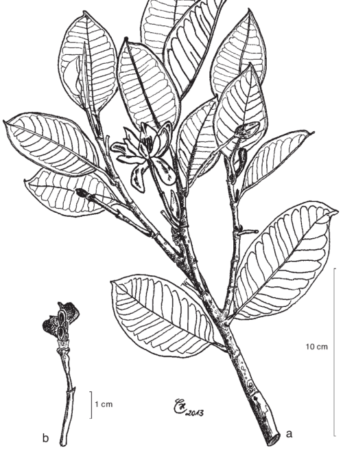 small resolution of magnolia sulawesiana brambach noot culmsee a leafy twig with flowers in