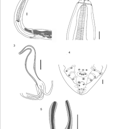 1 female anterior end showing muscular and glandular esophagus nerve ring vulva opening scale bar 100 m 2 male anterior end showing tripartite  [ 850 x 1126 Pixel ]