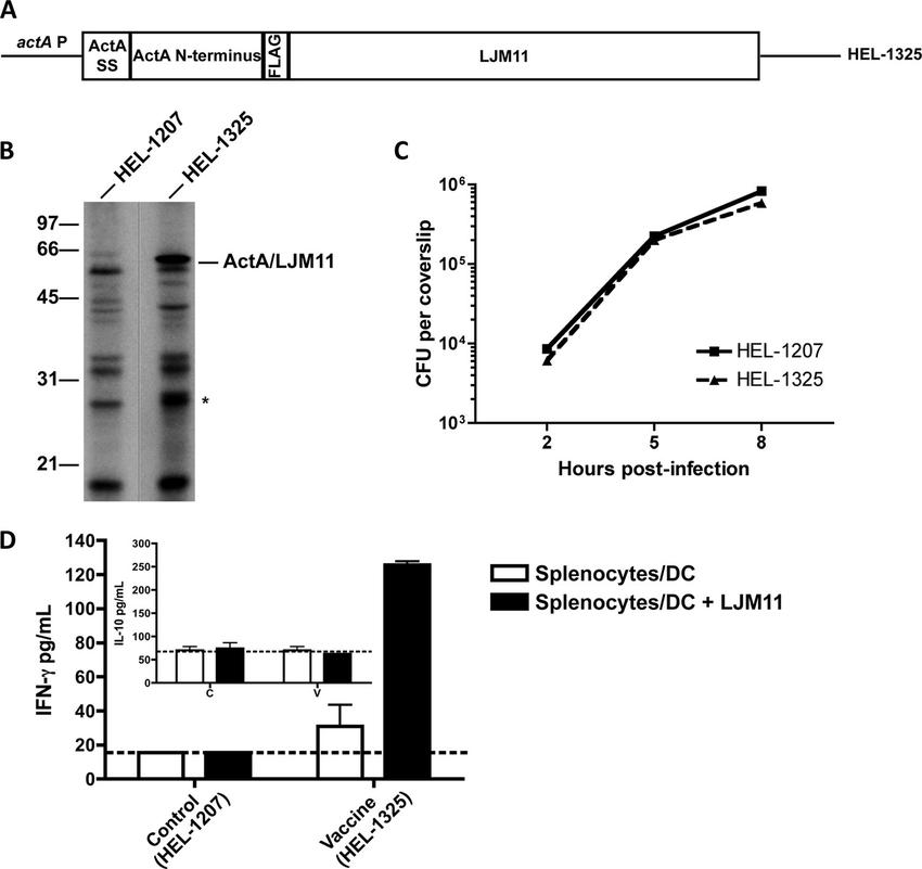 Listeria vaccine vector. (A) Schematic representation of