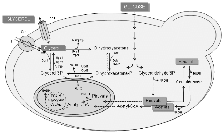 Glycerol transport and metabolism in S. cerevisiae and