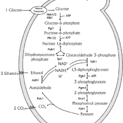Stages Of Glycolysis And Fermentation Diagram Chevrolet Cruze Radio Wiring Alcoholic Enzymatic Steps On S Cerevisiae Adapted From 11