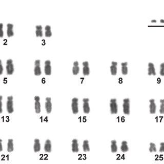 Metaphases from specimens of Moenkhausia sanctaefilomenae