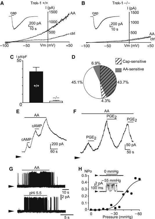 TREK-1 like currents in mouse small diameter DRG neurons