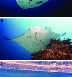 manta ray behaviours photographs presenting the three main behaviours for m alfredi observed around [ 665 x 1314 Pixel ]