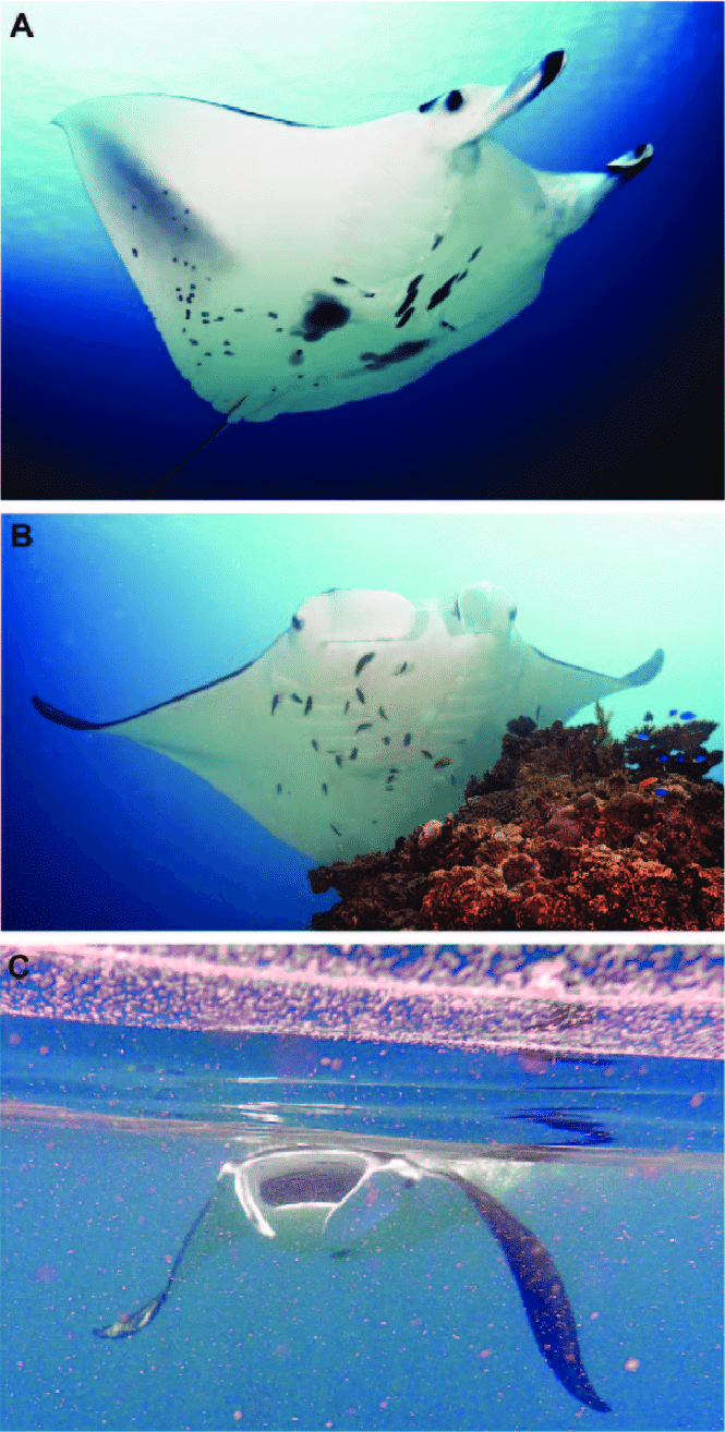 hight resolution of manta ray behaviours photographs presenting the three main behaviours for m alfredi observed around