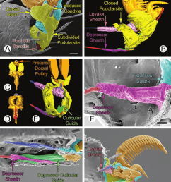 spider foot configuration example 6 subdivided podotarsite without claw tuft a h female feet preparations a f h sem b e  [ 850 x 1017 Pixel ]