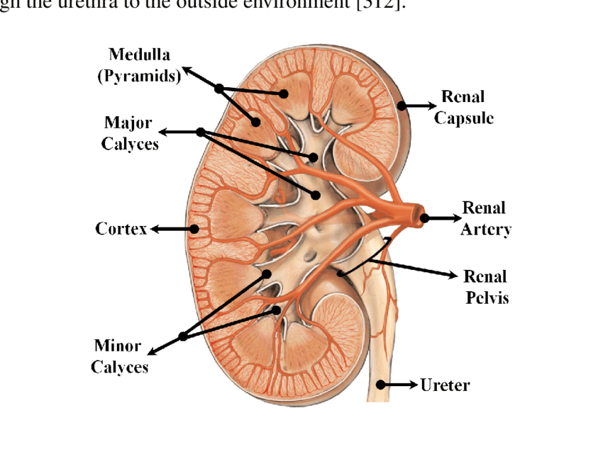labeled kidney diagram renal column smart car 451 wiring a schematic illustration of corronal cross-section the human right... | download scientific ...