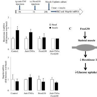 Ex vivo assessment of adipose tissue insulin sensitivity