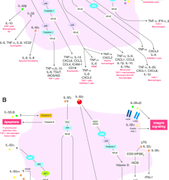 il 32 induced signaling pathways in inflammation a during inflammation  [ 850 x 1304 Pixel ]