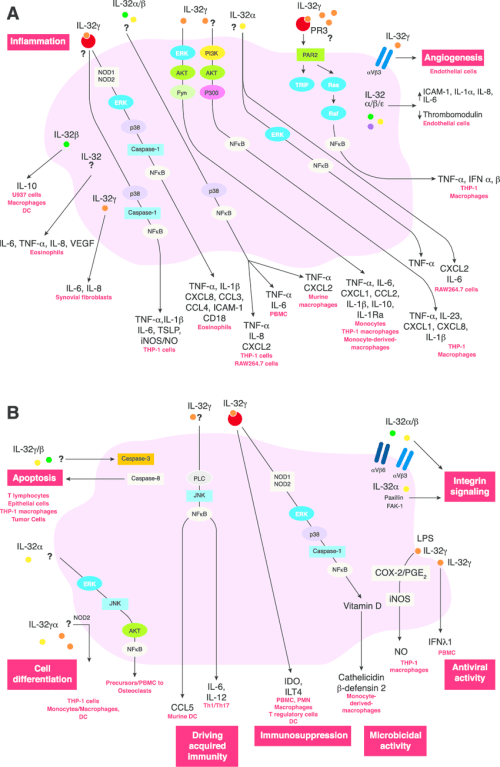 small resolution of il 32 induced signaling pathways in inflammation a during inflammation