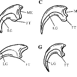 (PDF) The position of the claws in Noasauridae (Dinosauria