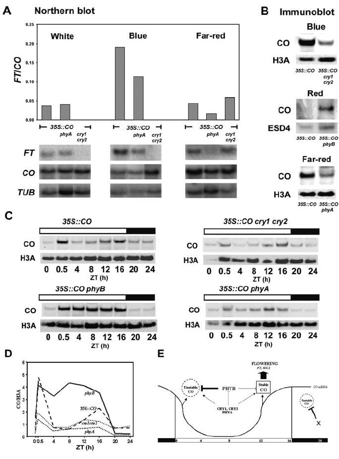 Effect of photoreceptor mutations on CO activity and