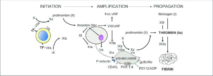 A scheme of current concepts on the coagulation process