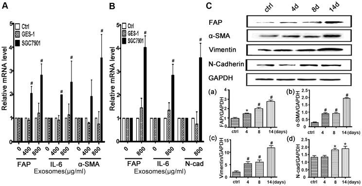 A.Quantitative analyses of the FAP, IL-6 and α-SMA mRNA