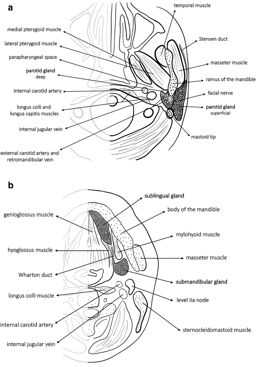 Anatomy of the salivary glands. a Axial drawing depicts