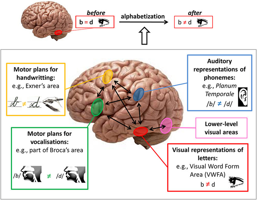 Brain pathways for mirror discrimination learning during ...