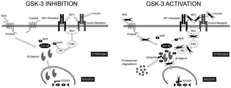 Regulation of GSK-3β activity. GSK-3β is constitutively