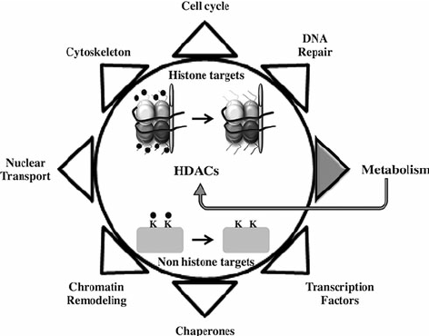 Schematic representation of HDACs substrates and regulated