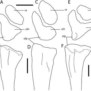 Antetonitrus ingenipes, right manual phalanx 1.1 (BP/1