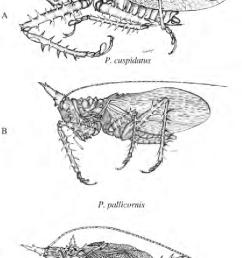 habitus of the male of some panacanthus spp download scientific diagram [ 682 x 1268 Pixel ]
