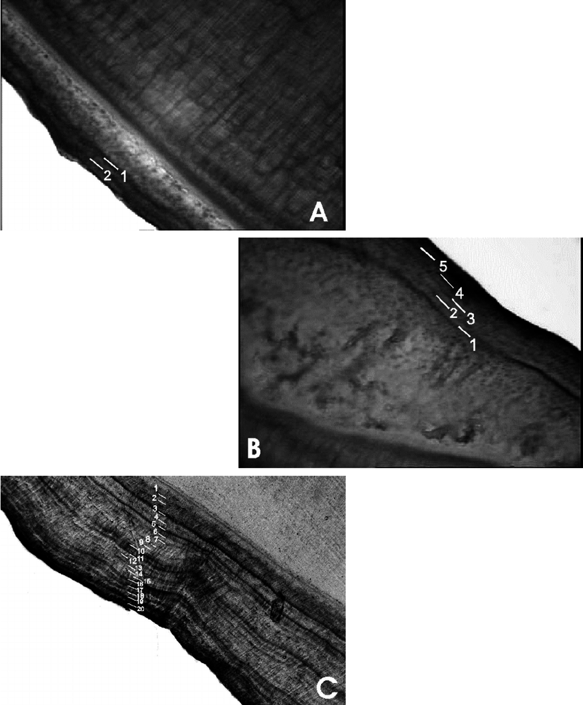 hight resolution of tooth sections of giant otters showing the growth layer groups in the cementum a known