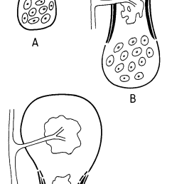 a c diagram of intramembranous ossification of tubular bone a perichondrium peripheral black line at the periphery of the partially calcified cartilage  [ 828 x 1755 Pixel ]